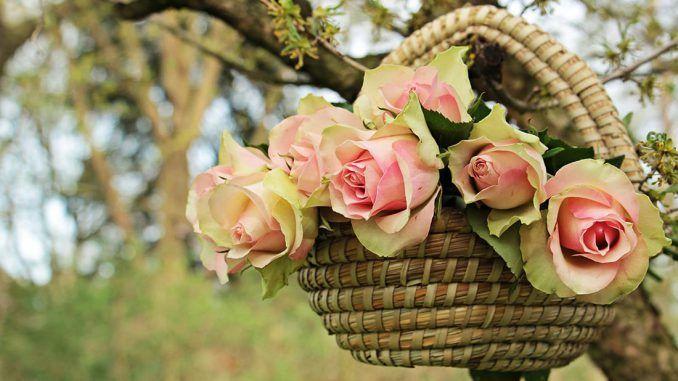 erwache-rose